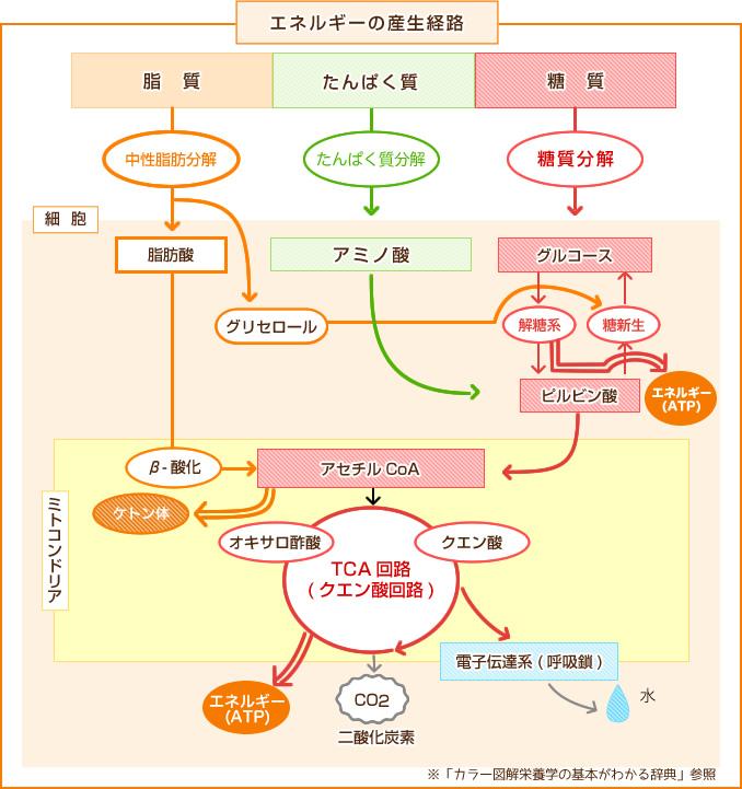 脂質 代謝 脂質代謝の概要 - 10. 内分泌疾患と代謝性疾患