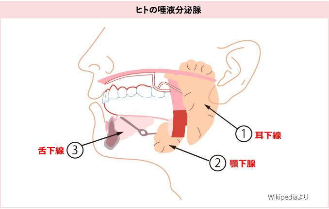 唾液の分泌