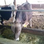 牧草肥育牛ブラウンスイスくん